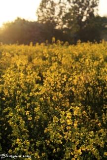Mustard field.